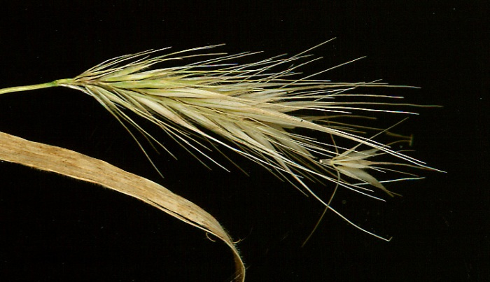 Hordeum_murinum_disarticulating_spikelet_cluster